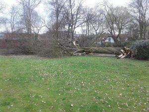 Stormschade maart 2019: Eik van 200 jaar omgewaaid in Kapellen - Noordernieuws.be