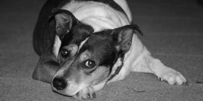 Baasje bepaalt schuldige blik van hond