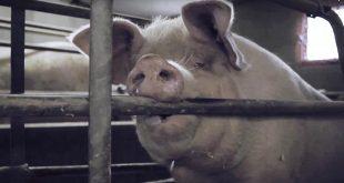 Metrogangers opgesloten; zo leven dieren in de vee-industrie