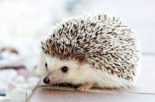 Bestrijdingsmiddelen buxusmotrups gevaarlijk voor vogels en egels