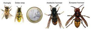 Ga mee de strijd aan tegen de Aziatische hoornaar 1