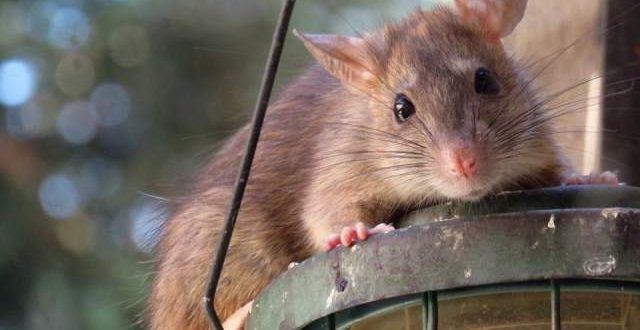 Last van ratten