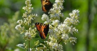 De Grote Vlindertelling van Natuurpunt