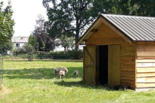 Schapen genieten van nieuw onderkomen in sportpark Hemelrijk