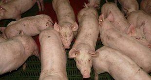 Hitte leidde tot enorme sterfte onder varkens