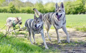 Roedel Saarlooswolfhond - Lisa van Hoof