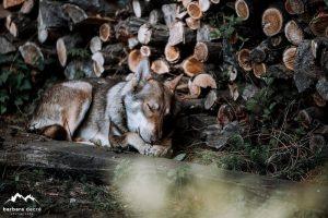 Saarlooswolfhond - Styx - Lisa van Hoof - Noordernieuws.be