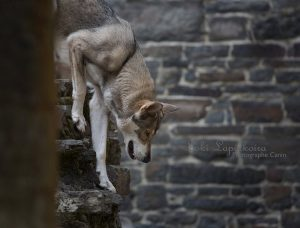 Saarlooswolfhonden - Daya - Lias van Hoof - (c) Loki Lapinkoira
