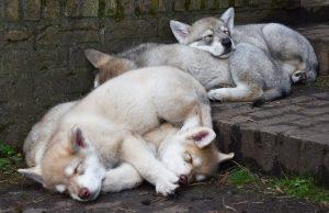 Saarlooswolfhonden - Pups - Lias van Hoof - Noordernieuws