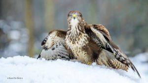 102 Hobby Fotografie - Karel De Blick - Natuurfotograaf - Vogelfotografie - Noordernieuws.be - buizerd