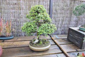 108 Bonsai - Hobby - Rudy Siedlecki - (c) Noordernieuws.be - HDB_9423