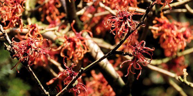 Arboretum Kalmthout - Miss Hamamelis verkiezing 2020