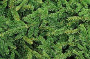 Ophaling kerstbomen
