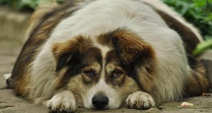 Overgewicht bij honden een zwaar probleem