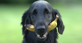 Welk fruit mag een hond en vooral welk niet