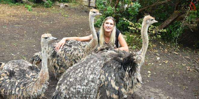 Wederom poging tot vergiftiging populaire struisvogels Koch's Corner - Wuustwezel - HDB_8422