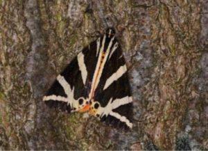 Meer dan 1000 soorten nachtvlinders in Grenspark Kalmthoutse Heide5