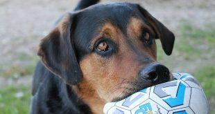 vzw Noah Brasschaat zoekt pleegouders voor honden in nood