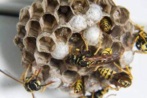 Wespen bestrijden in de tuin3