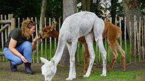 Tine van Wezel - Beroep - Alpaca's - DSC07541