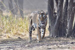ArieJan Korevaar - Natuur en wildlife fotograaf - Tijger