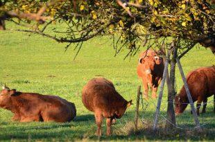 Geef iedere koe een boom tijdens deze hitte