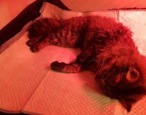 Katje met poot in klem gevonden3