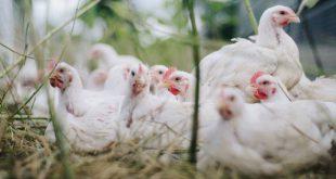 Vogelgriepvirus - ophokplicht voor kippen en ander pluimvee