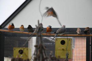 Dirk De Rycke vogelliefhebber - Hobby vogels - Koloniebroed