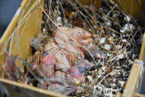 Dirk De Rycke vogelliefhebber - Hobby vogels - nestje met jonge vogels