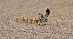 Ophokplicht voor pluimvee verlengd