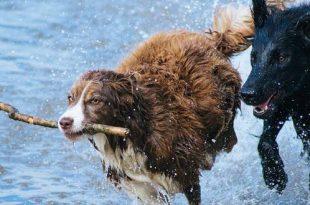 Je hond zwemt nooit, toch vaccineren tegen ziekte van Weil