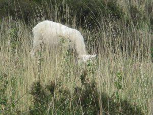 GroenRand stipt het belang van schapenbegrazing aan