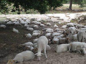 GroenRand stipt het belang van schapenbegrazing aan.3jpg
