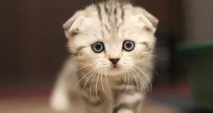 Designer cat Scottish fold verboden in Vlaanderen