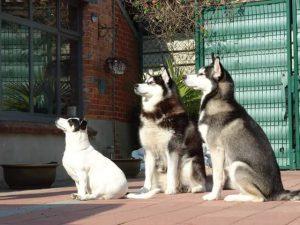 Christel Nelen - Hobby honden - Husky en Malamute - (c) Noordernieuws.be 2021 - IMG-20210727-WA0001