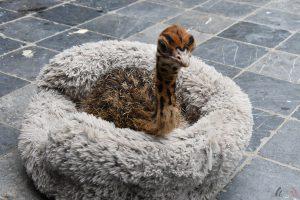 Wendy Adriaens - Hobby Dieren - Struisvogels - HDB_4150