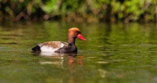 1 op 5 vogelsoorten in Europa is (met uitsterven) bedreigd